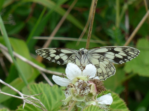 White butterfly with black markings nectaring on a white flower