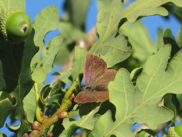 View of a brown butterfly with a purple patch on the wings resting in an oak tree