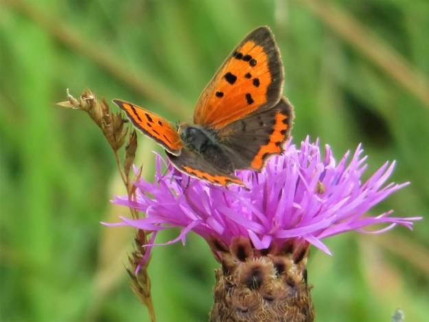 Orange butterfly with black spots and margins to the wings nectaring on a pink flower