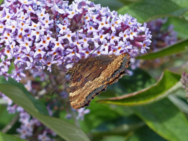 Brown butterfly nectaring on a lilac coloured Buddleia flower