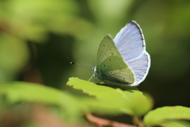 Pale silvery blue butterfly with some black spots on the wings resting on a green leaf