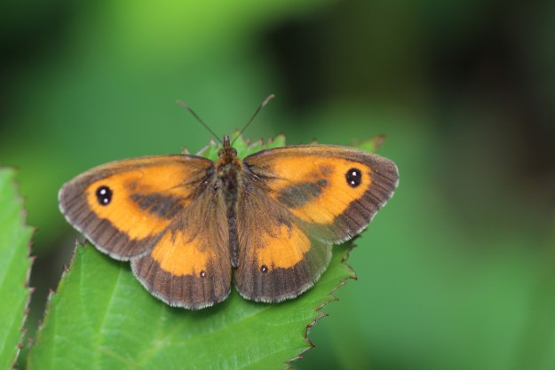 Orange and chocolate brown butterfly with some white dots on the wings resting on a green leaf