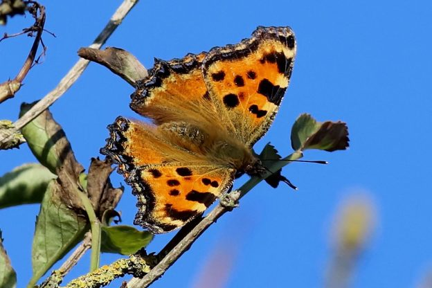 Orange butterfly with black markings perched on a branch