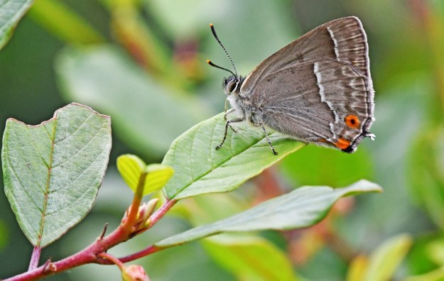 Greyish brown butterfly with white and orange markings resting on a green leaf