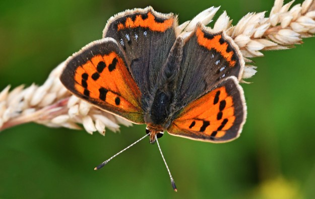Orange butterfly with black and dark brown markings and and some blue spots on the wings