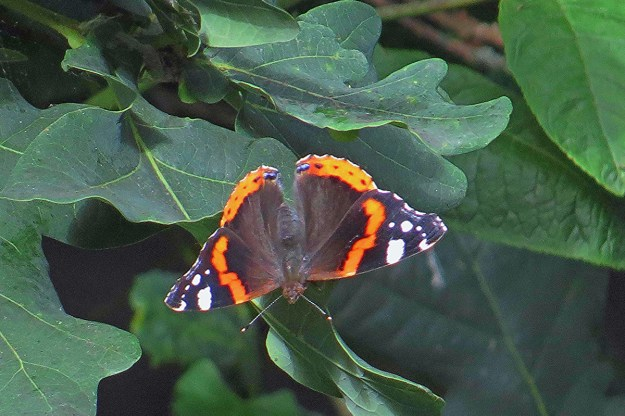Photo of reddish orange and black butterfly with white markings near the wing tips whilst resting on a green leaf