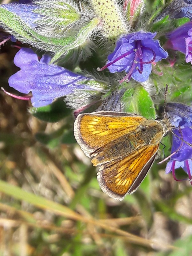View of a golden brown butterfly nectaring on a purple flower