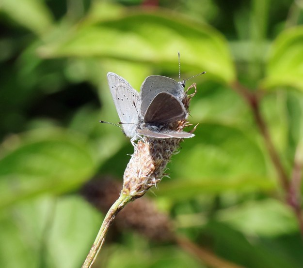 Two silvery blue butterflies with black spots on their wings and one dark brownish blue butterfly, all resting on a seed head