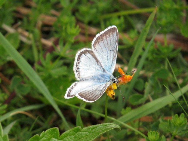 Butterfly fringe pale blue and ivory