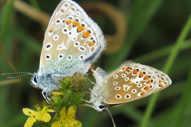 View of two mating brown, beige and blue butterflies with orange, black and white markings