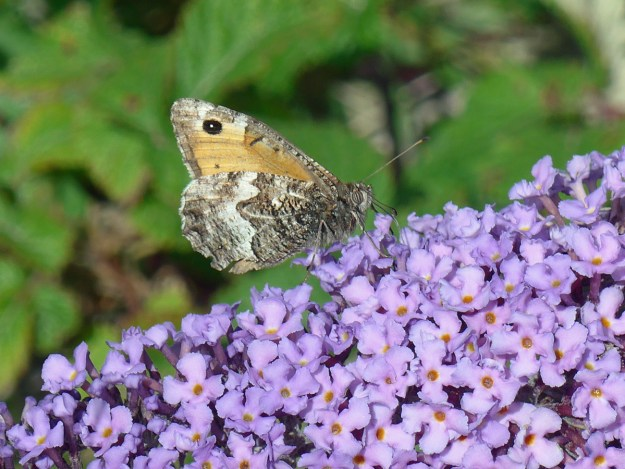 View of an orange and greyish brown butterfly nectaring on a lilac coloured Buddleia flower