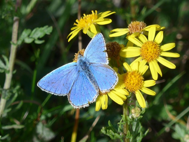 Blue butterfly nectaring on a yellow flower