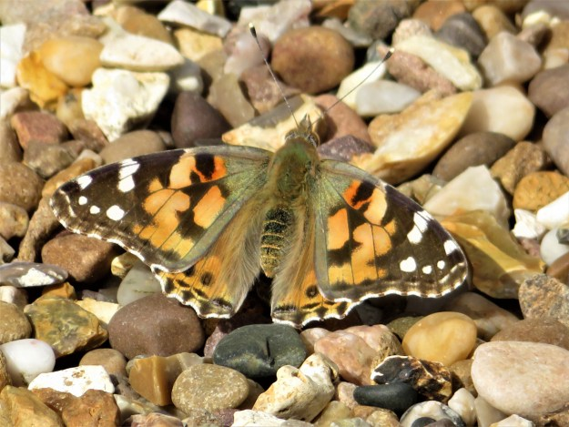 An orange butterfly with black and white markings resting on gravel