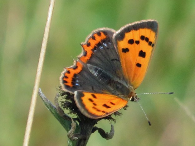 View of an orange butterfly with black markings and some blue dots on the hindwing