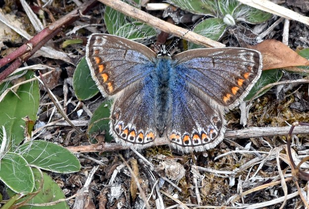 View of a resting blue butterfly with orange, black and white markings