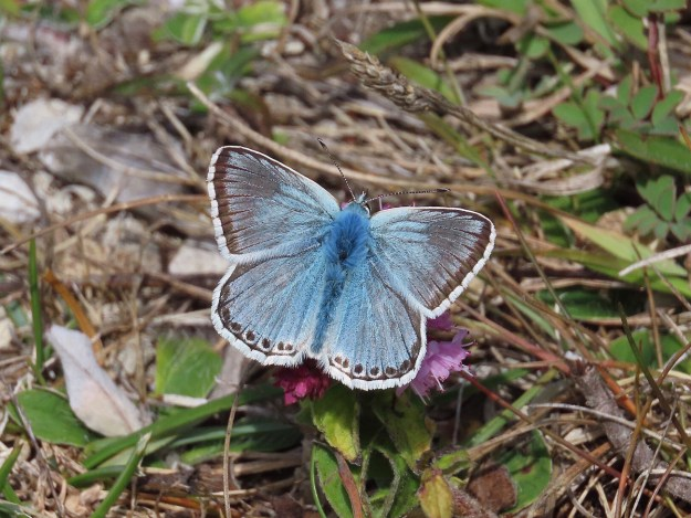 View of a blue butterfly with black and white markings an white fringe to the wings resting on