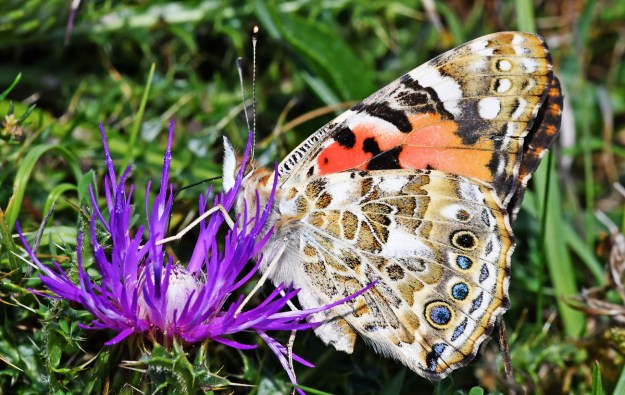 Pale brown and orange butterfly with black and white markings nectaring on a purple flower