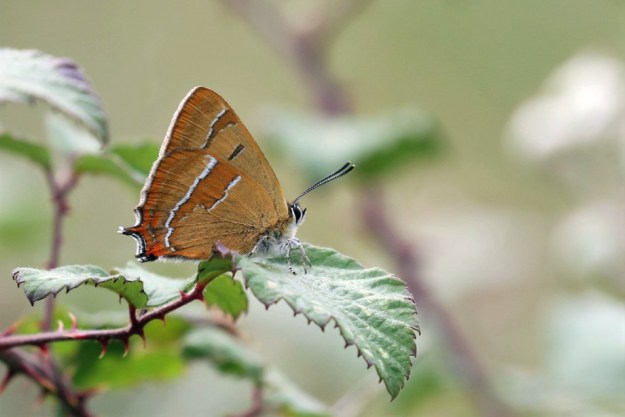 View of a light brown and orange butterfly with black and white markings resting on a green leaf