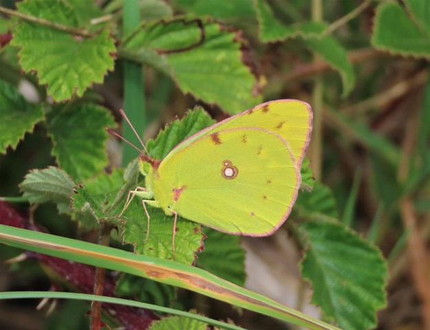 View of a yellow butterfly with some brown markings resting on a green leaf