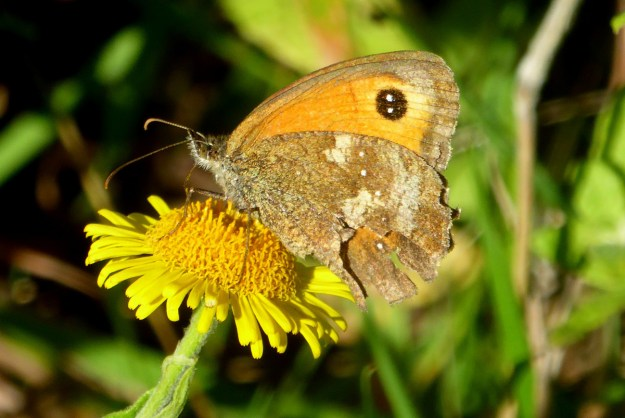An orange and brown butterfly nectaring on a yellow flower