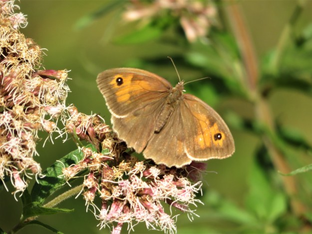 A brown and orange butterfly resting on pinkish white flowers