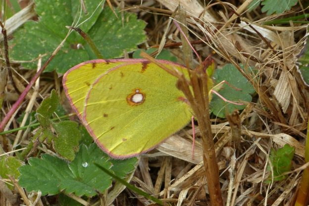A greenish yellow butterfly with white and brownish markings resting on a green leaf