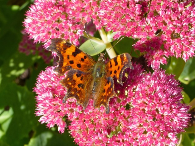 An orange butterfly with black and brown markings nectaring on a pink Sedum flower
