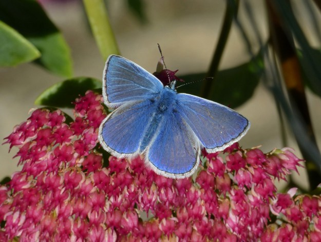 A blue butterfly with some black markings and a white fringe to the wings nectaring on a pink Sedum flower