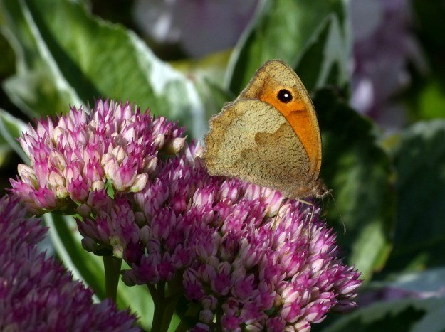Brown and orange butterfly nectaring on a pink flower