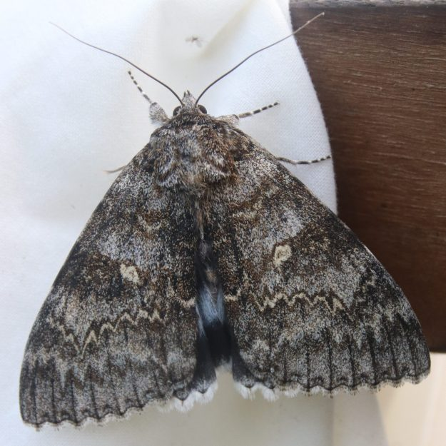 Large grey patterned moth with sky blue and black underwings