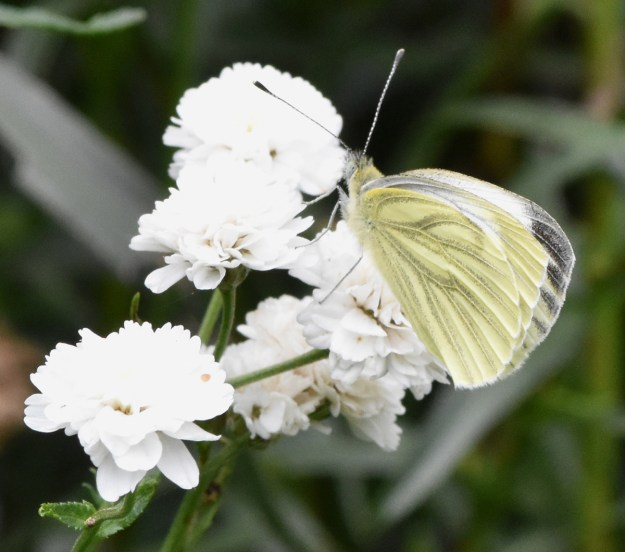 Greenish white butterfly with black markings nectaring on a white Dahlia flower