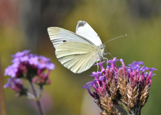 A greenish white butterfly with some black markings nectaring on a purple flower