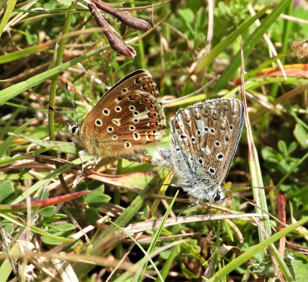Two brownish butterflies with orange, black and white markings resting in the vegetation
