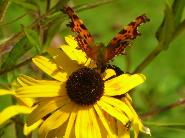 An orange butterfly with black spots nectaring on a yellow flower
