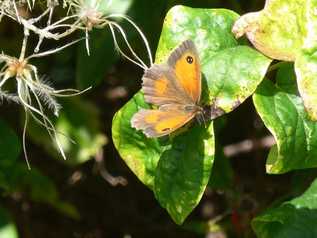 An orange and brown butterfly resting on a green leaf