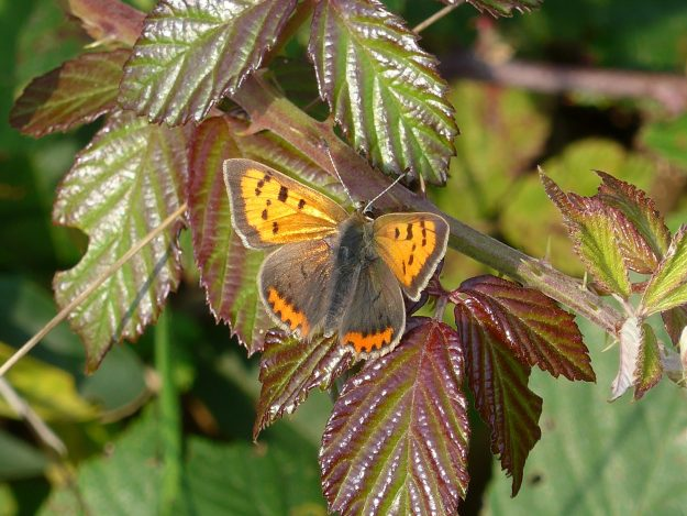 An orange and brown butterfly with black markings resting on a green and reddish coloured leaf