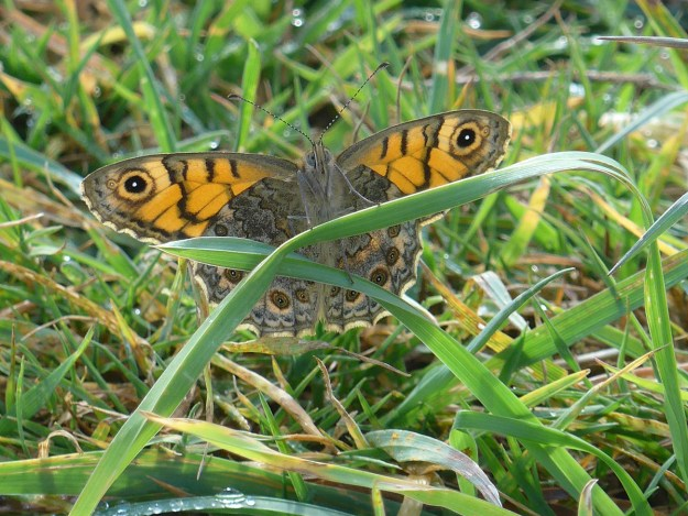 An orange and brown butterfly with black markings resting in the grass