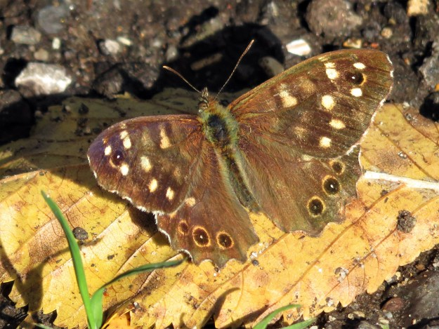 A chocolate brown and cream coloured butterfly resting on a yellowish leaf
