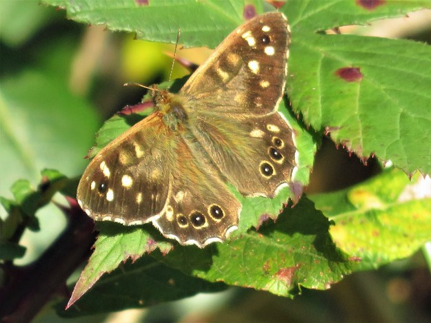 A chocolate brown and cream butterfly resting on a green leaf