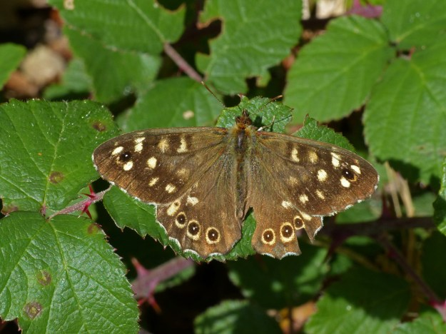 A chocolate brown butterfly with cream coloured markings resting on a green leaf