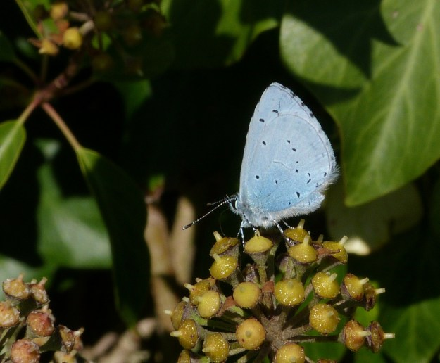 View of a pale blue butterfly with black markings resting on a plant seed head