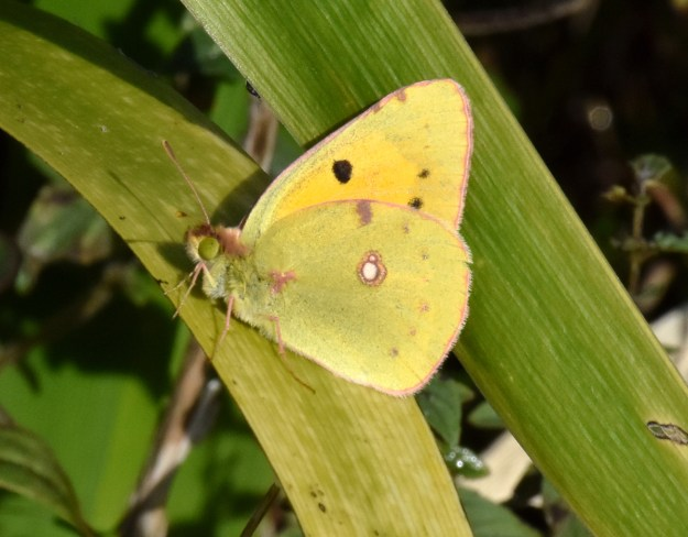 A yellow butterfly with some brownish and white markings resting on green leaf