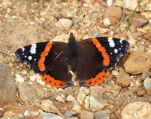 A reddish orange and black butterfly with white markings resting on the ground