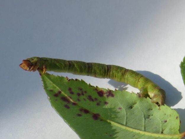 Green Caterpillar with brown/red spot along its length
