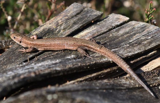 Brown lizard on some old wood