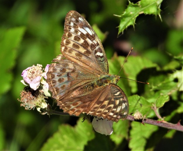 A brownish butterfly with cream markings nectaring on bramble flowers