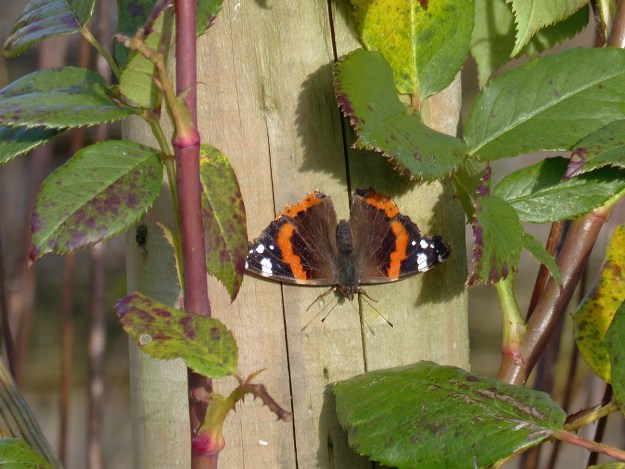 A reddish orange and black butterfly with white markings resting on the timber post of a rose trellis