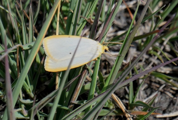 White oblong shaped moth with 2 dots on each  and with a yellow borderforewings