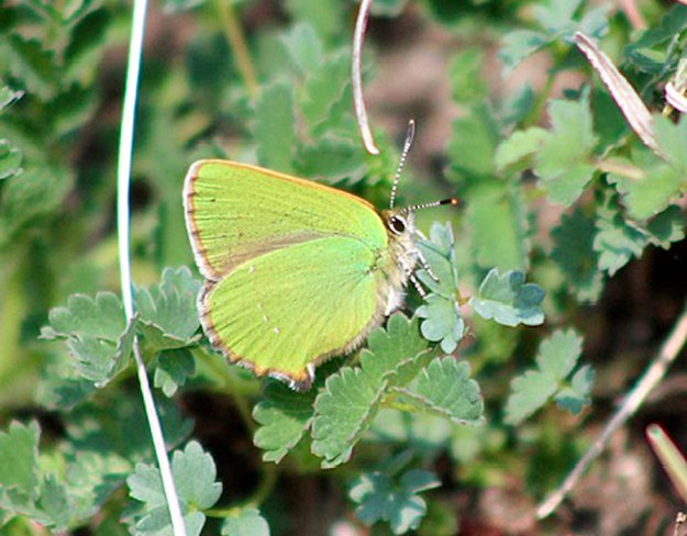 View of a green butterfly resting on green leaves