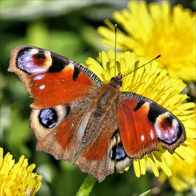 A red butterfly with black, brown, white and blue markings nectaring on a yellow flower